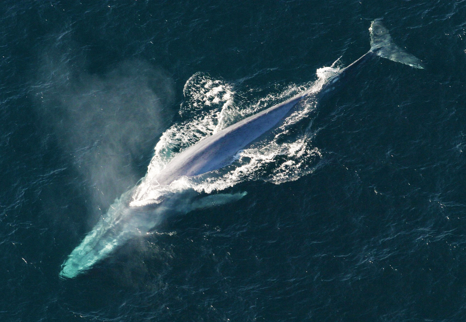 Record number of blue whales in Great Australian Bight spotted