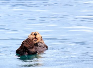 Get all the facts for Sea Otter Awareness Week