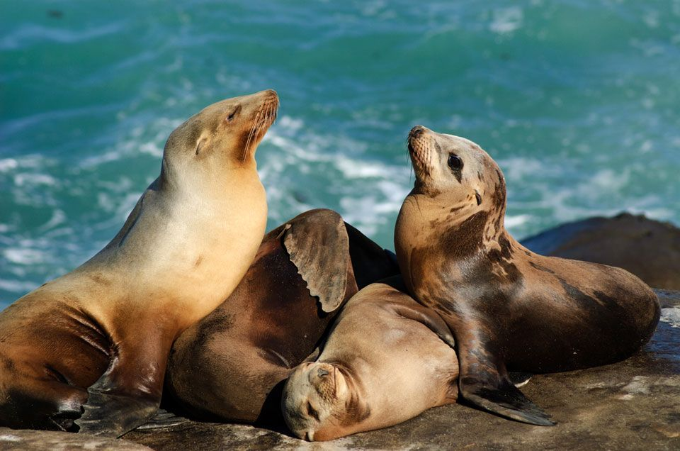 California Sea Lion Populations Have Rebounded