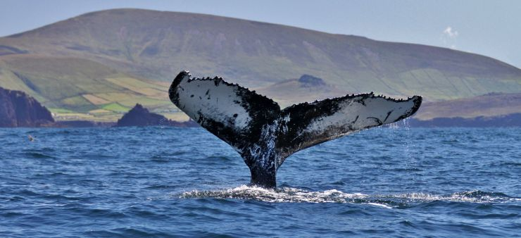 Humpback Whale Tail Seen off Ireland - Photo by Nick Massett